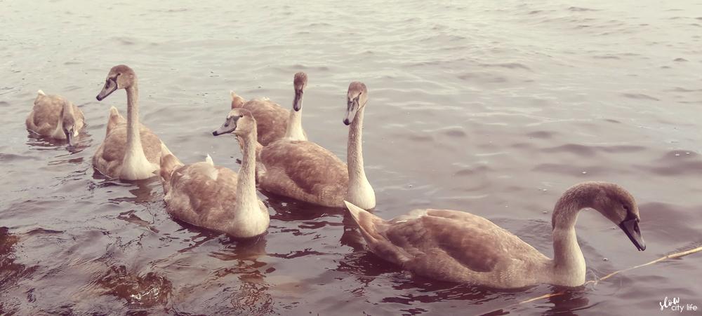 slow life wrzesień łabędzie jezioro